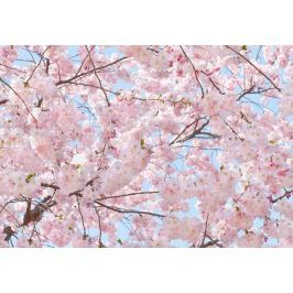 Wizard+Genius W+G fototapeta Ružové kvety 366x254 cm